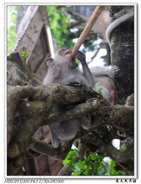 巴厘岛情人崖和乌鲁瓦图神庙游记 猴子HM.jpg