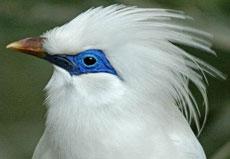巴厘岛濒危物种——长冠八哥